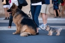 German Shepherd | Yorkshire Terrier | New York Fashion Week